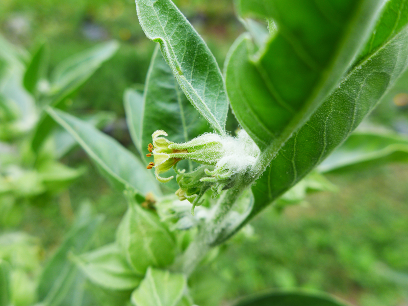 ashwaganda blossom in a cluster of leaves