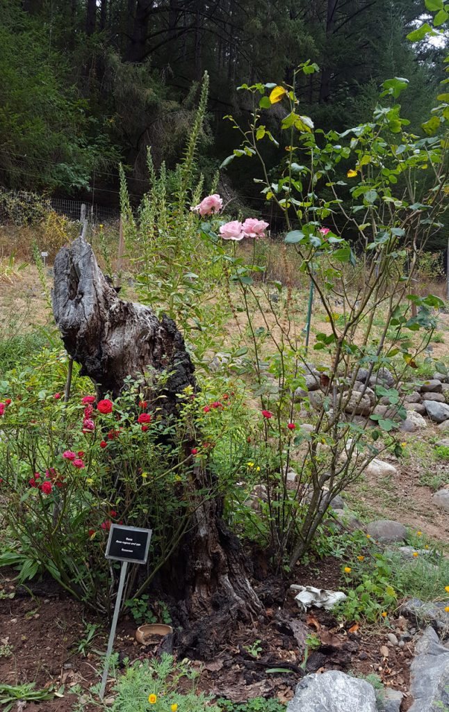 pink roses blooming in the California School of Herbal Studies herb garden
