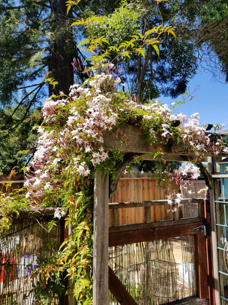 Sugar and PIth, image of a garden gate covvered in blooming pink jasmine